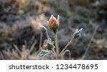 Orange Rosebud Covered With...