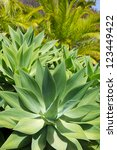 Small photo of Agave Attenuata cactus plant from Canary Islands in La Palma