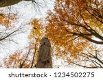 beech forest in autumn   upward ... | Shutterstock . vector #1234502275