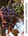 bunch of overripe grapes ... | Shutterstock . vector #1234513312