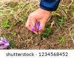 flowers of saffron collection.... | Shutterstock . vector #1234568452