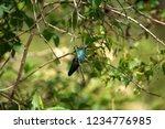 sparkling violetear  colibri... | Shutterstock . vector #1234776985