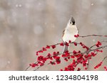 A Tufted Titmouse Perched On...