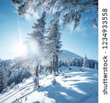 magical white spruces on a...