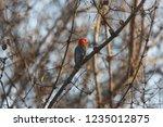 red headed bird in tree   Shutterstock . vector #1235012875