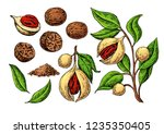 nutmeg spice vector drawing.... | Shutterstock .eps vector #1235350405