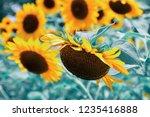sunflower blooming in field ... | Shutterstock . vector #1235416888