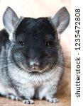 funny face fluffy domestic...   Shutterstock . vector #1235472808