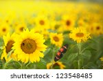 Blooming Sunflower Field In Th...