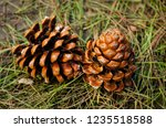 Fallen Pinecone In Natural...