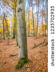 beech forest in autumn | Shutterstock . vector #1235702935