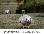 Large And Woolly Sheep In The...