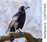 Small photo of Rook standing tall. A rook stands upright on the branch of a tree.