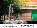 closeup of brown meerkat ...   Shutterstock . vector #1235768092