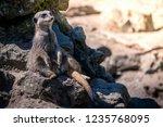 closeup of brown meerkat ...   Shutterstock . vector #1235768095