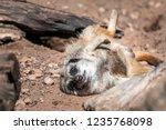 closeup of funny brown meerkat  ...   Shutterstock . vector #1235768098