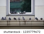 Wild life in the city-pigeons perched and resting on a ledge of a city building closeup