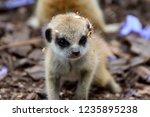 Meerkat Baby Family
