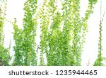 ivy leaves isolated on white. | Shutterstock . vector #1235944465