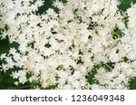white tiny flowers with... | Shutterstock . vector #1236049348