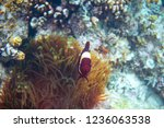 red clownfish in actinia. coral ...   Shutterstock . vector #1236063538