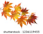 autumn maple leaves | Shutterstock . vector #1236119455