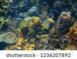 yellow butterflyfish in corals. ...   Shutterstock . vector #1236207892