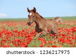 the bay colt with a white spot... | Shutterstock . vector #1236217975