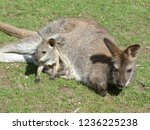 kangaroo with baby children | Shutterstock . vector #1236225238