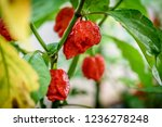 red hot chilli pepper trinidad... | Shutterstock . vector #1236278248