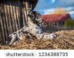 funny labrador puppy dog with... | Shutterstock . vector #1236388735