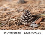Pinecone On The Ground In A...