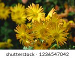 beautiful chrysanthemum as... | Shutterstock . vector #1236547042