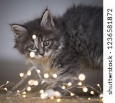 Stock photo close up of a young tabby blue maine coon kitten looking curiously at christmas light string 1236581872