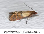 indian mealmoth plodia...   Shutterstock . vector #1236625072