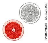 hand drawn grapefruit.vector... | Shutterstock .eps vector #1236628558