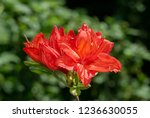 slocock hybrid azalea ... | Shutterstock . vector #1236630055