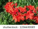 slocock hybrid azalea ... | Shutterstock . vector #1236630085