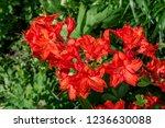 slocock hybrid azalea ... | Shutterstock . vector #1236630088
