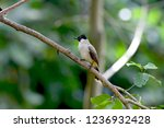 bulbul bird perched on tree... | Shutterstock . vector #1236932428