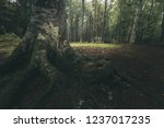 dark tree roots in foggy forest.... | Shutterstock . vector #1237017235