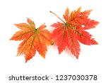 autumn maple leaves | Shutterstock . vector #1237030378