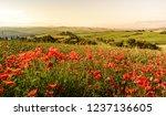 Poppy Flower Field In Beautiful ...