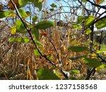 corn cob field in the garden in ... | Shutterstock . vector #1237158568