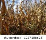 corn cob field in the garden in ... | Shutterstock . vector #1237158625