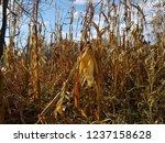 corn cob field in the garden in ... | Shutterstock . vector #1237158628