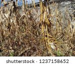 corn cob field in the garden in ... | Shutterstock . vector #1237158652