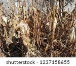corn cob field in the garden in ... | Shutterstock . vector #1237158655