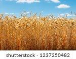 field of ripe golden wheat   Shutterstock . vector #1237250482