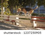 happy beagle dog jumping over...   Shutterstock . vector #1237250905